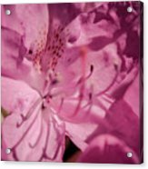 Rhododendron-close Up Acrylic Print
