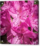 Rhododendron-close Up1 Acrylic Print