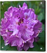 Rhododendron Elegance Acrylic Print