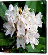 Rhododendron Family Of Flowers Acrylic Print