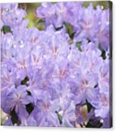 Rhododendron Floral Flowers Lavender Purple Prints Baslee Acrylic Print
