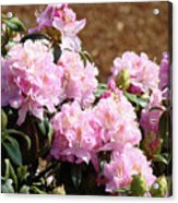 Rhododendron Flower Garden Art Prints Canvas Pink Rhodies Baslee Troutman Acrylic Print