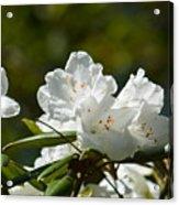 Rhododendron II Acrylic Print