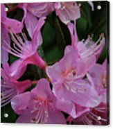 Rhododendron In The Pink Acrylic Print