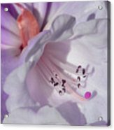 Rhododendron In White And Magenta Acrylic Print