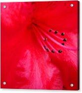 Rhododendron Macro Red Rhodie Art Print Baslee Troutman Acrylic Print
