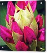 Rhododendron Velvet    Acrylic Print