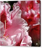 Rhododendrons Art Prints Floral Pink Rhodies Canvas Baslee Troutman Acrylic Print