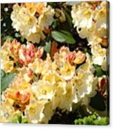 Rhododendrons Garden Art Prints Creamy Yellow Orange Rhodies Baslee Acrylic Print