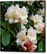 Rhododendrons II Acrylic Print
