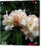 Rhododendrons IIi Acrylic Print