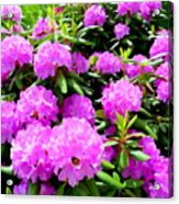 Rhododendrons In Bloom Acrylic Print