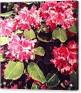 Rhododendrons Rothschild Acrylic Print by David Lloyd Glover