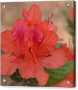 Rhododendrum Oldhamii Acrylic Print