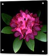 Rhody Queen - Red Acrylic Print