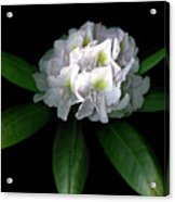 Rhody Queen - White Acrylic Print