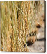 Rice Harvest Acrylic Print