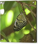 Rice Paper Butterfly Clinging To A Tree Branch Acrylic Print