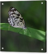 Rice Paper Butterfly On A Long Daylily Leaf Acrylic Print