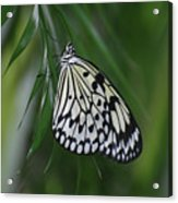 Rice Paper Butterfly Sitting On Green Foliage Acrylic Print