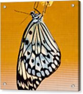 Rice Paper Out From Chrysalis Acrylic Print