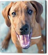 Ridgeback Puppy Acrylic Print by Maarten van de Voort Images & Photographs
