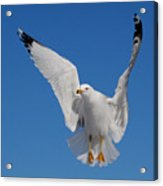 Ring Billed Gull In Flight Acrylic Print by Mircea Costina Photography