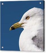 Ring-billed Gull Portrait Acrylic Print