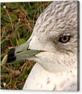 Ring Billed Gull Profile Acrylic Print