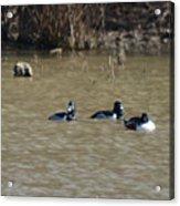 Ring Neck Ducks  Acrylic Print