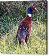 Ring Neck Pheasant Acrylic Print
