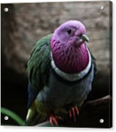 Ring Necked Dove Acrylic Print