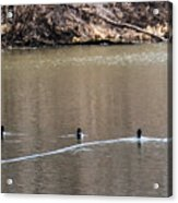 Ring-necked Duck Formation Acrylic Print