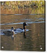 Ring Necked Duck Acrylic Print