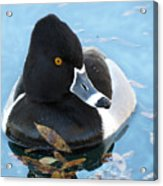 Ring-necked Duck Acrylic Print