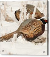Ring-necked Pheasant Hunting In The Snow Acrylic Print