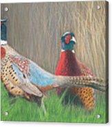 Ring-necked Pheasants Acrylic Print
