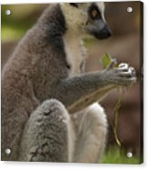 Ring-tailed Lemur Holding A Clump Of Grass Acrylic Print