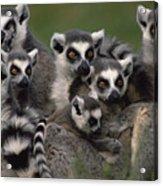 Ring-tailed Lemur Lemur Catta Group Acrylic Print