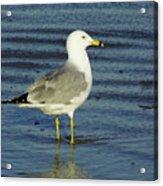 Ringed Billed Sea Gull Acrylic Print