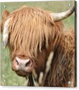 Ringo - Highland Cow Acrylic Print