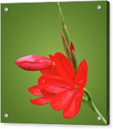Ritzy Red Acrylic Print
