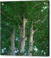 River Birches Acrylic Print