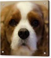 River Dog Closeup Acrylic Print