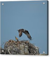 River Hawk Hovering Over A Nest Acrylic Print