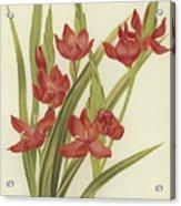 River Lily Or Crimson Flag Acrylic Print