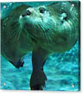 River Otter Acrylic Print