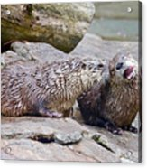River Otters Acrylic Print