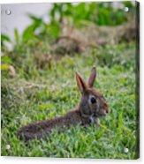 River Rabbit Acrylic Print