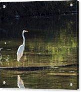 River Wader Acrylic Print